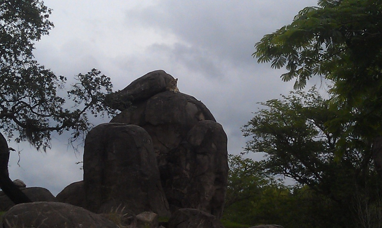 A lion near the top of the rocks.  I do not remember seeing one this high before.  Better pics when I post the update