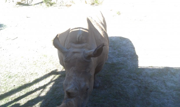 A white rhino came right up to our truck near where I was seated.  Thanks to the sun this is the best pic.