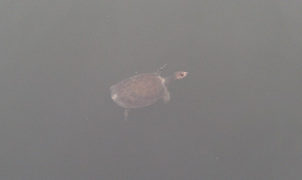 a turtle swimming by.  Actually saw two plus a good size bass.