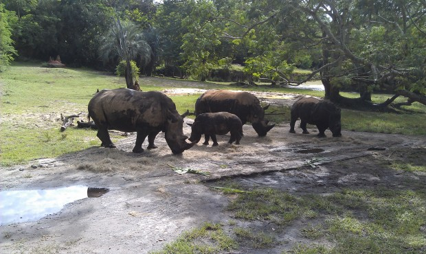 A group of white rhinos on the safari including a young one