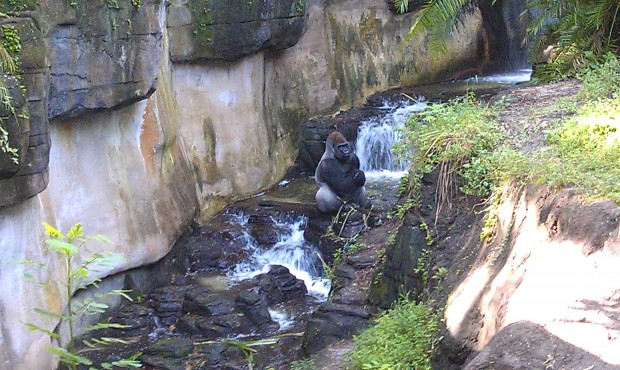 A look into Pangani forest, male silverback gorilla in a stream