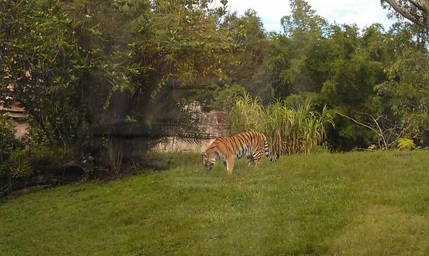 Walked through the Jungle Trek.  A tiger on the hillside.