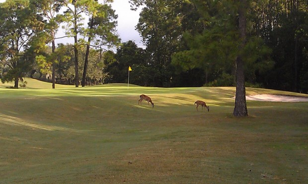 a couple of deer near the 9th green