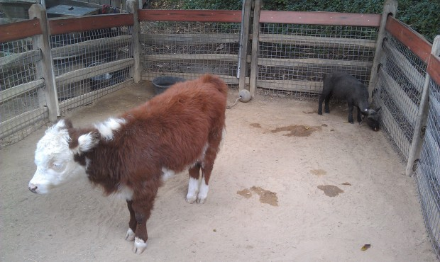 Stop by the Big Thunder Ranch and vote to name the new sheep and calf.
