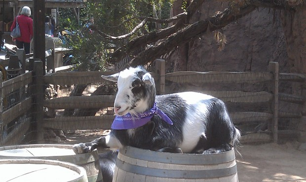 Big Thunder Ranch, looks like this goat is endorsing the spring break mood