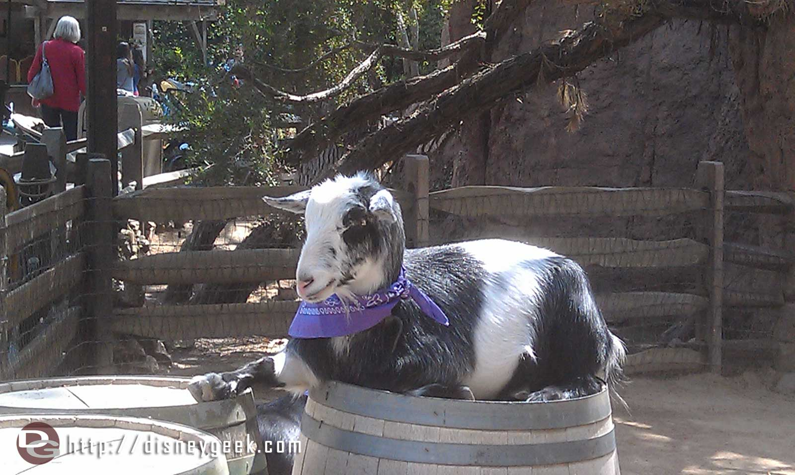 Disneyland Big Thunder Ranch – Running of the Goats & Happy Trails (Videos)