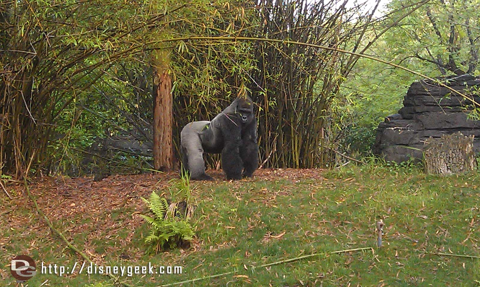 A male silverback gorilla in Pangani Forest