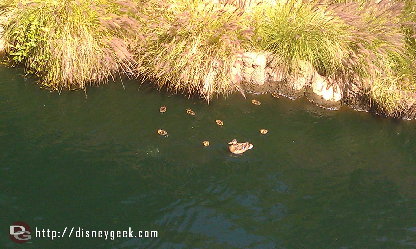 A mother and ducklings float by on the Rivers of America