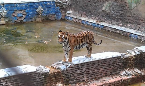An asian tiger along the jungle trek #DAK15