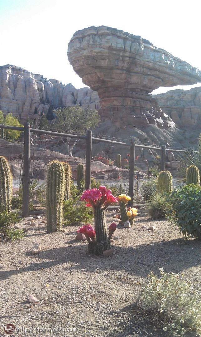 Cactus in bloom in Ornament Valley #CarsLand @DCAToday
