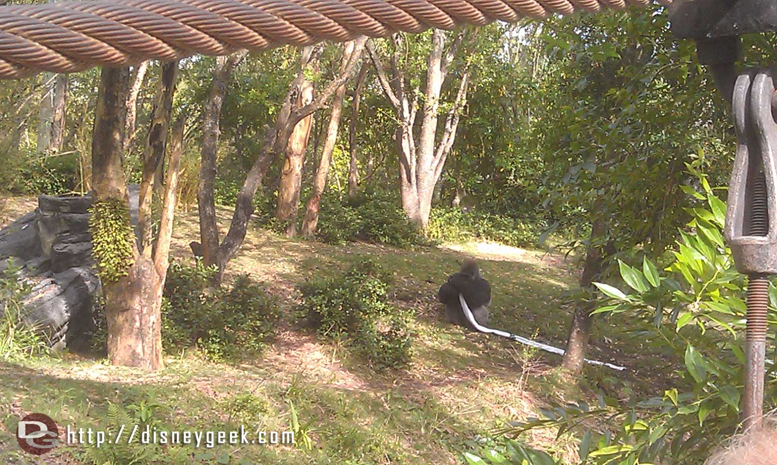 Pangani Forest, one of the male silverbacks playing with a blanket