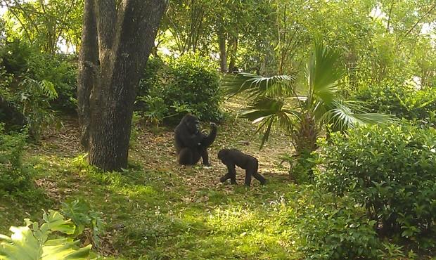 The family group of gorillas in Pangani