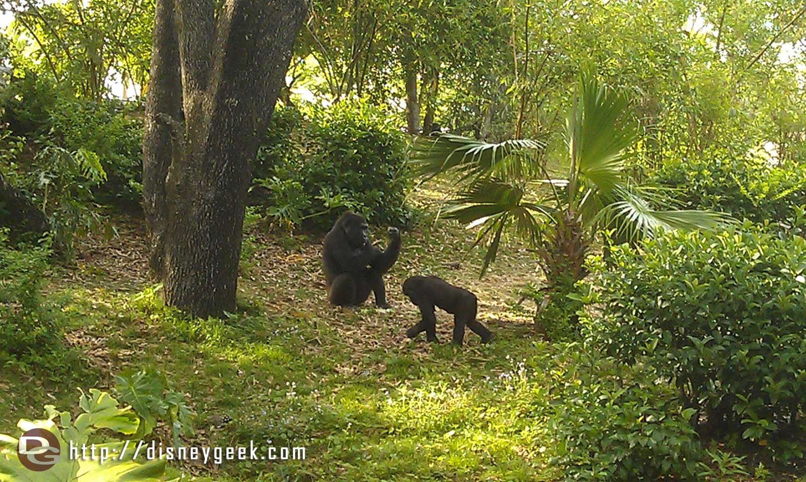 The family group of gorillas in Pangani