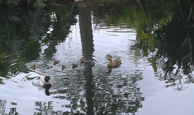 For all you Disney Duck fans.. a family out for a morning swim