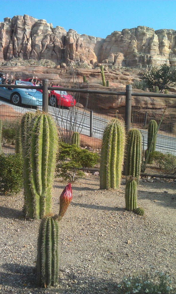 More cactus will be blooming soon in Ornament Valley #CarsLand
