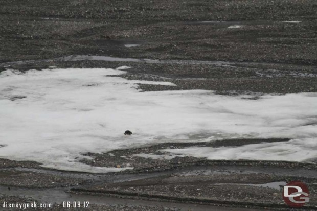A Wolverine crossing the ice in #Denali #Alaska