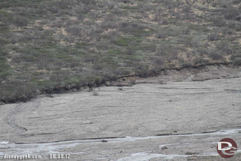 A closer picture of the Grizzly Bear along the river #Denali #Alaska