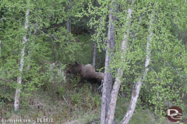 A moose at the McKinley Lodge yesterday morning, it walked by the building next to ours  - #Alaska