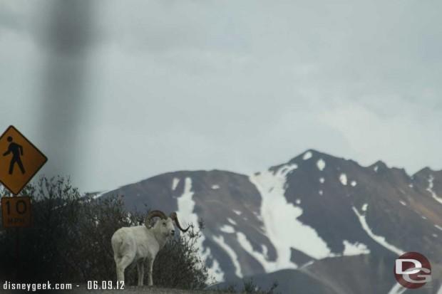 A ram along the road in #Denali #Alaska