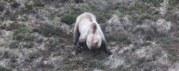 Look at the nails/claws on the mother grizzly #Denali #Alaska