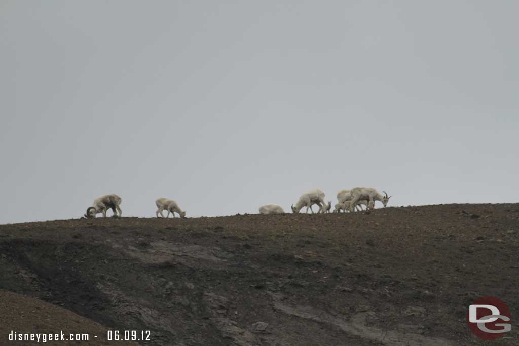 Some sheep in #Denali #Alaska up on a ridge