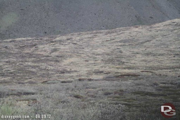 Three Grizzly Bears out in the distance in Denali - #Alaska