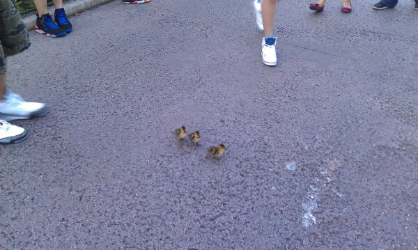Three young ducklings making their way across a walkway.