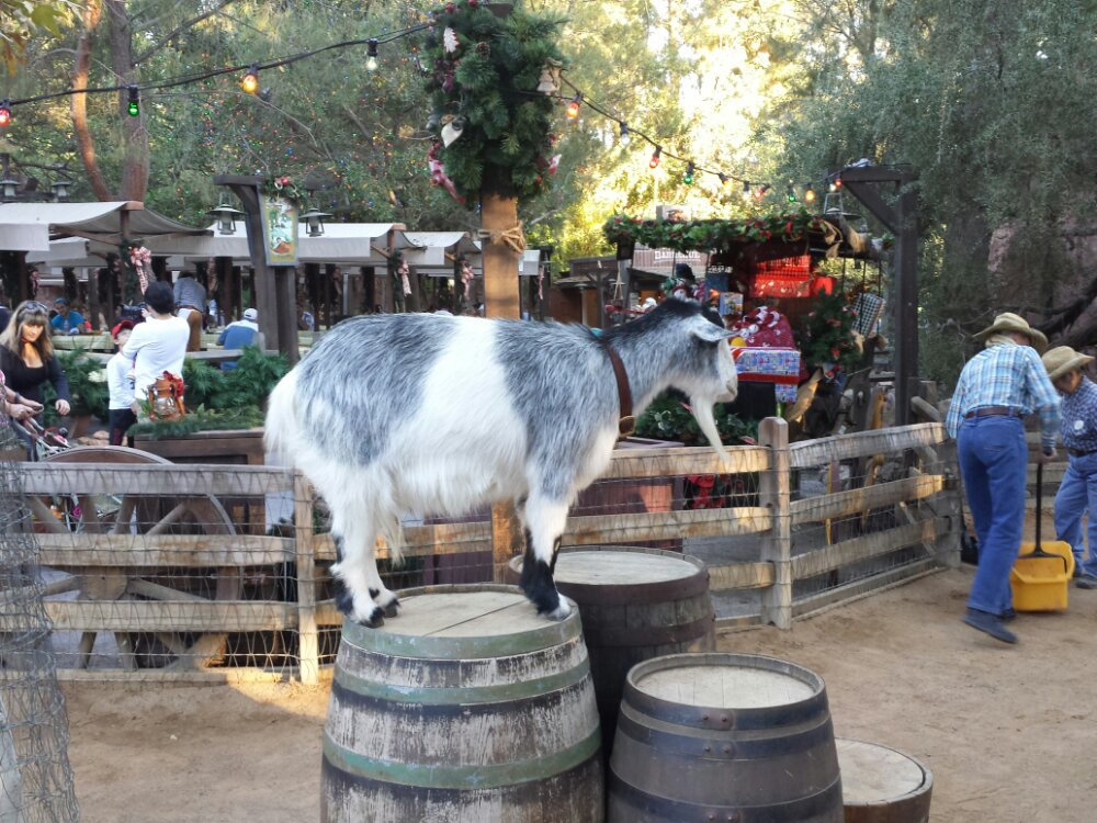 No reindeer , just Christmas goats again this year.