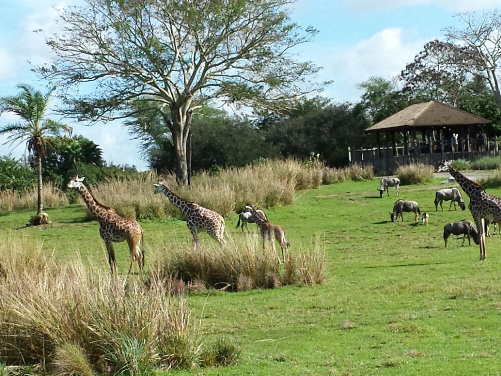 A lot of activity on the Savanna this morning at Animal Kingdom Kilimanjaro Safari