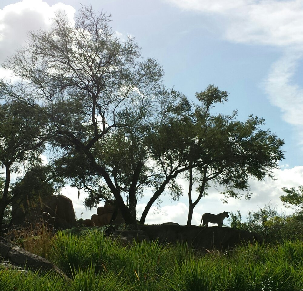 A lioness on Kilimanjaro Safari