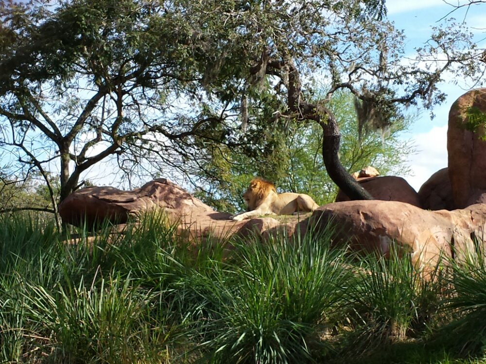 A male lion on the Kilimanjaro Safari at Disney's Animal Kingdom