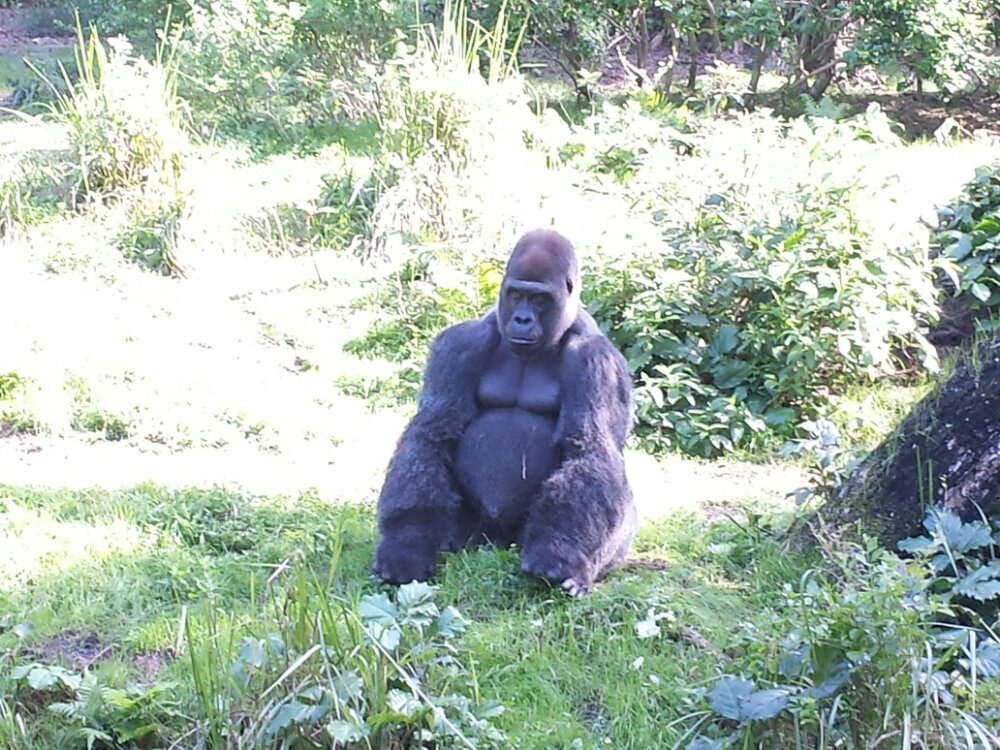 A male silverback gorilla in the Panfani Forest at Disney Animal Kingdom