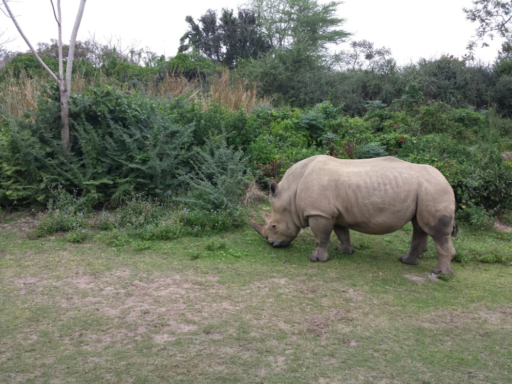 A white rhino on the Kilimanjaro Safari