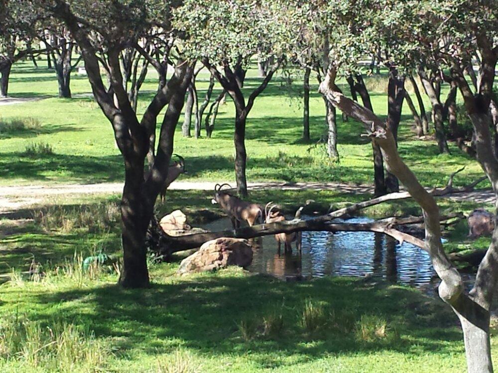 Roan Antelope on the savanna at the Animal Kingdom Lodge
