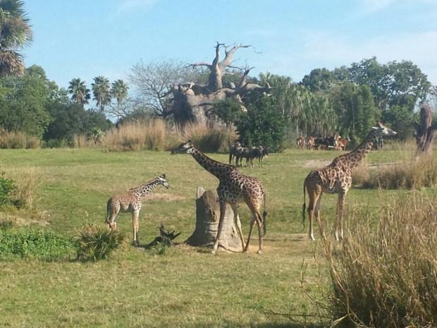 Disney's Animal Kingdom - Kilimanjaro Safari - Giraffes including a young one