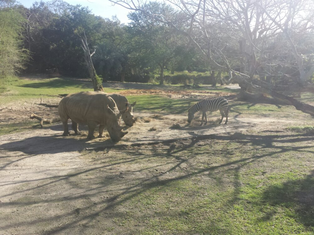 Kilimanjaro Safari – two white rhinos and a zebra