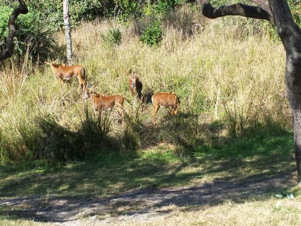 Disney's Animal Kingdom - Kilimanjaro Safari - Sable Antelope
