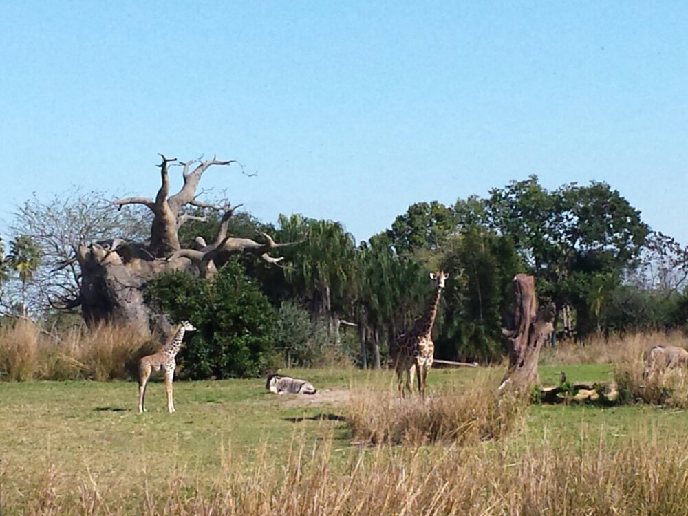 Giraffes on the Kilimanjaro Safari
