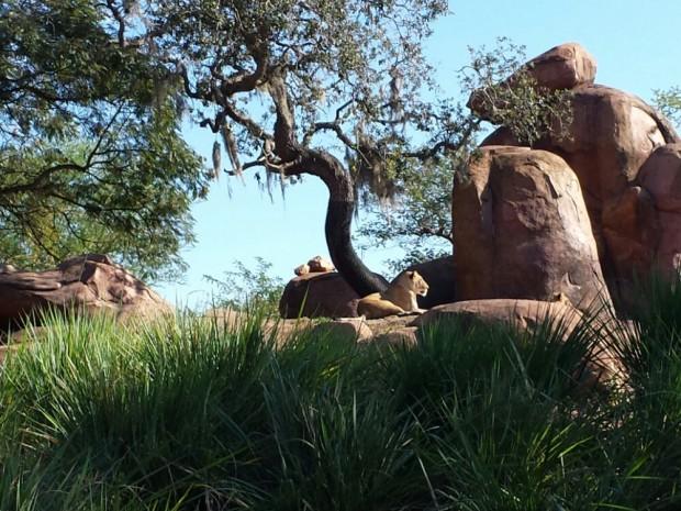Disney's Animal Kingdom - Kilimanjaro Safari - Lions