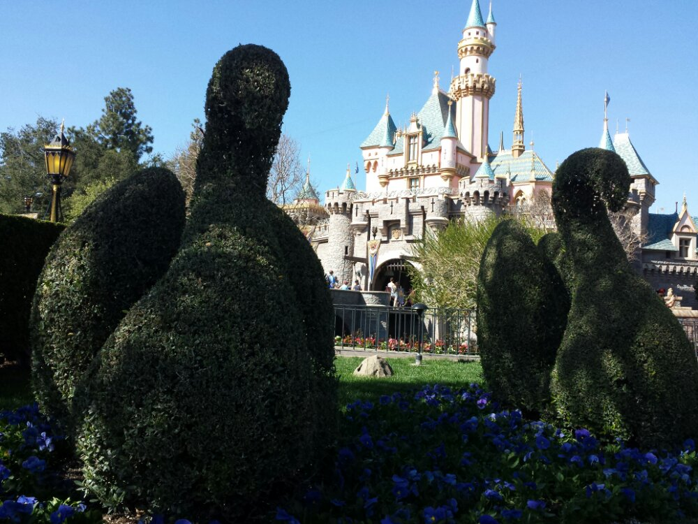 Another great afternoon weatherwise, Sleeping Beauty Castle with swan topiaries in the foreground #Disneyland