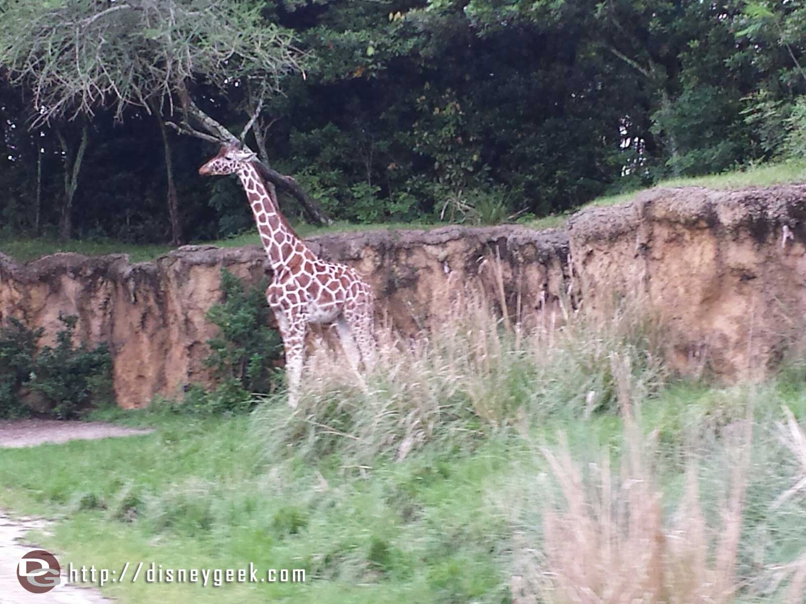 A giraffe on the Kilamanjaro Safari at Disney's Animal Kingdom