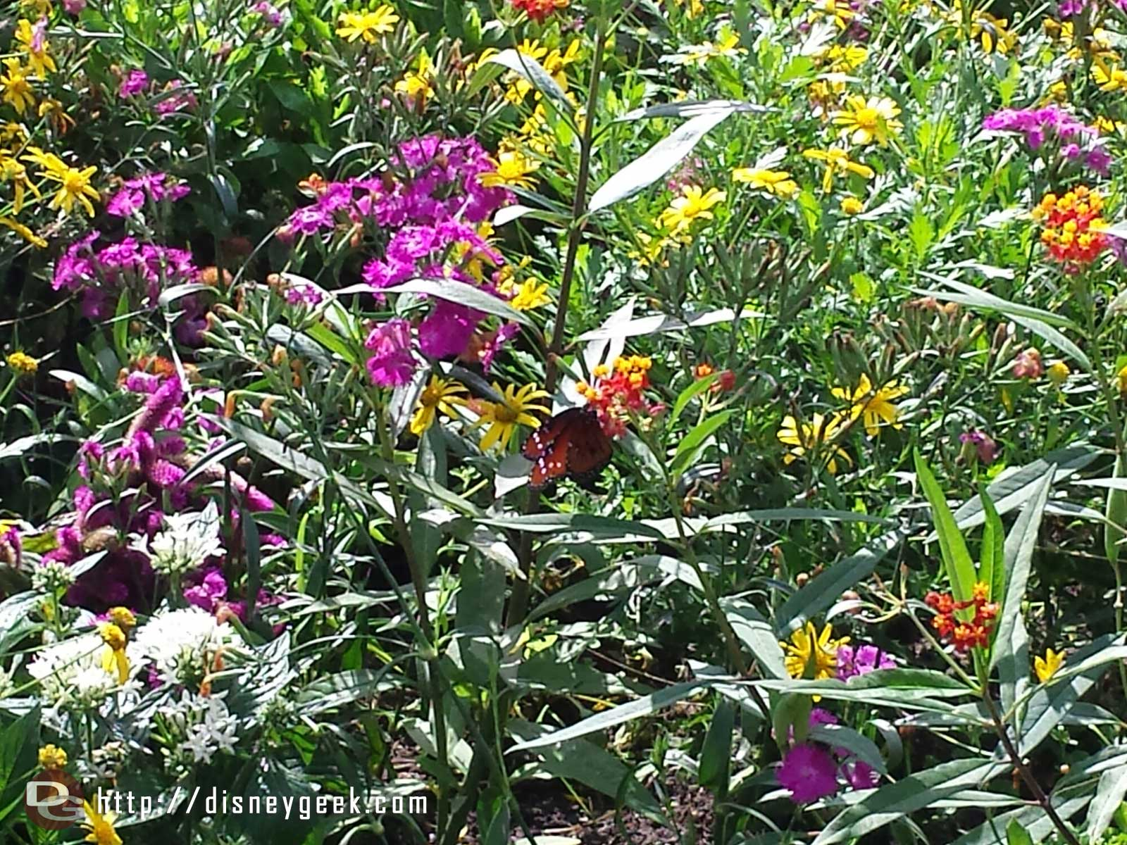 Stopped by the butterfly garden –  Epcot International Flower & Garden Festival
