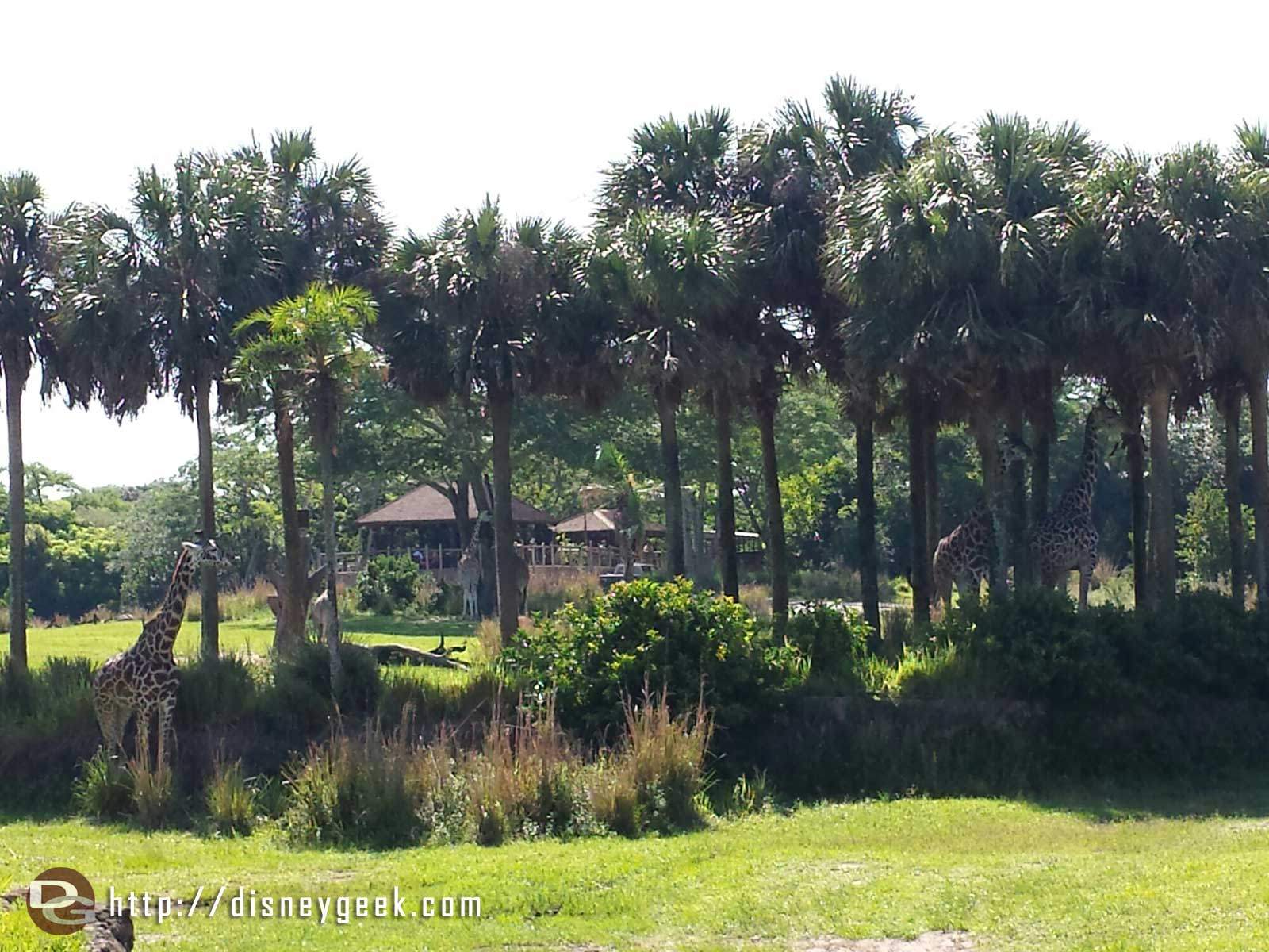 Giraffes on the Kilimanjaro Safari at Disney's Animal Kingdom