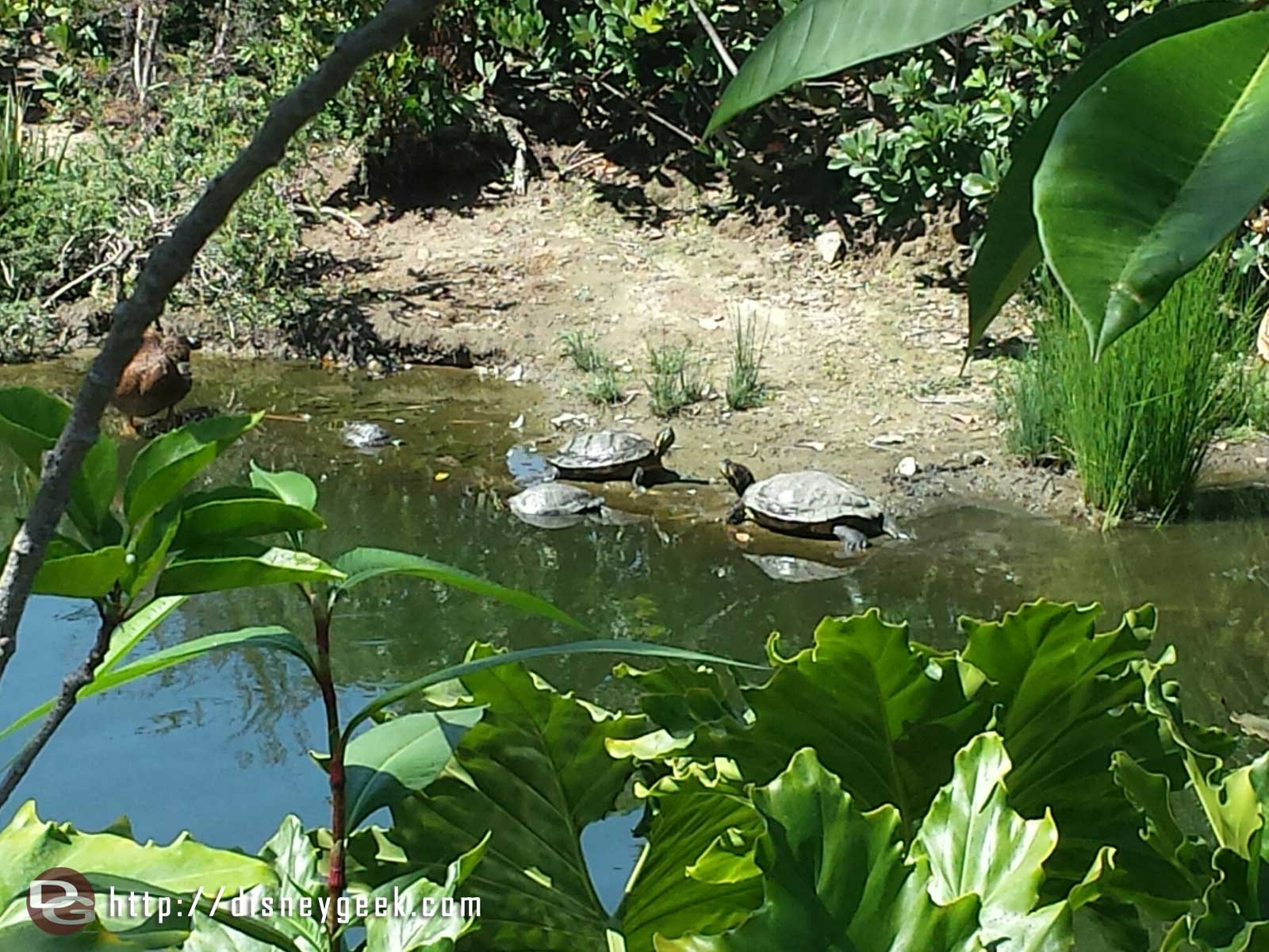 A family of turtles between Adventureland and Frontierland