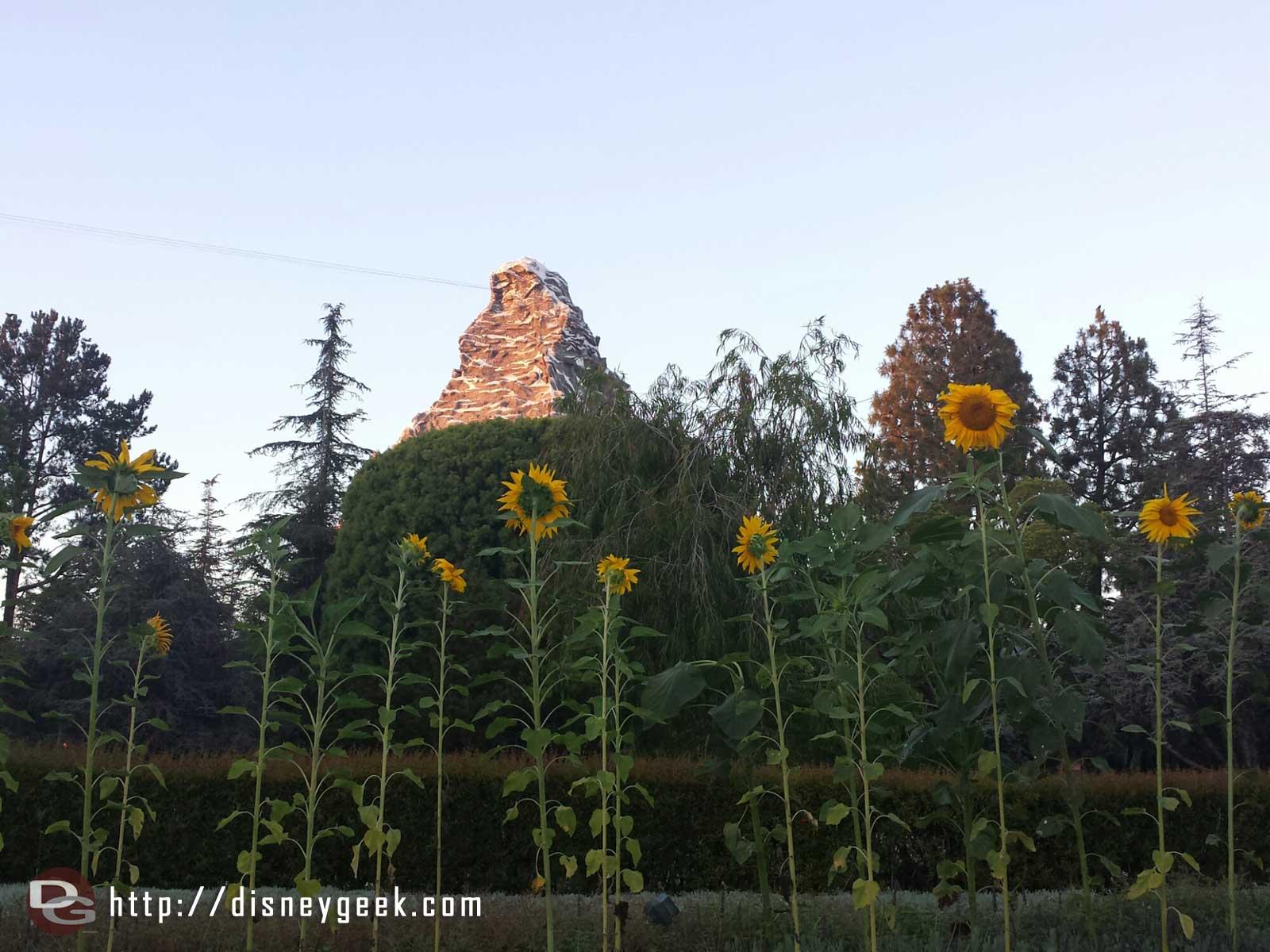 Matterhorn with sun flowers