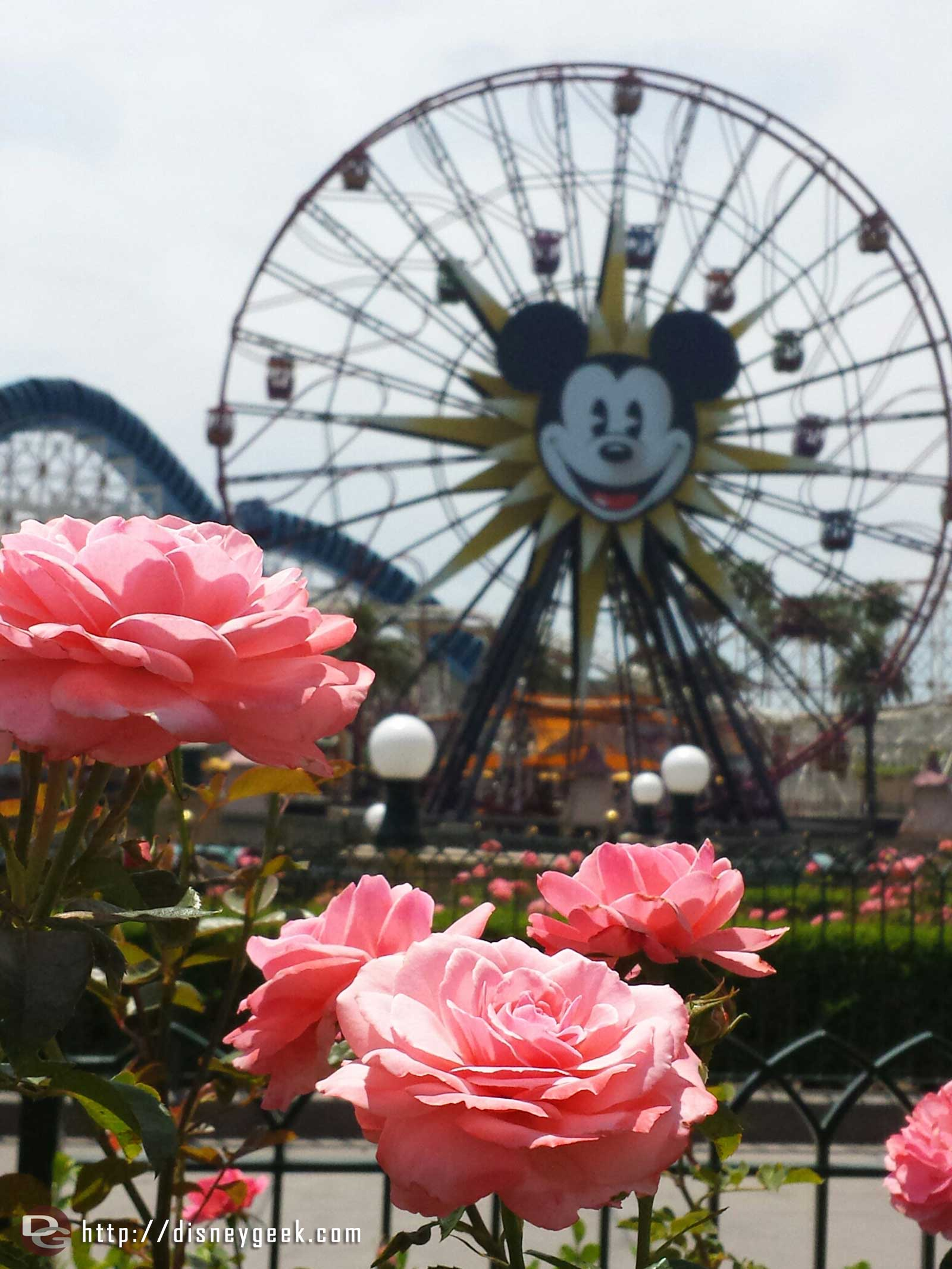 Pink roses and Mickey's Fun Wheel – Paradise Pier Disney California Adventure