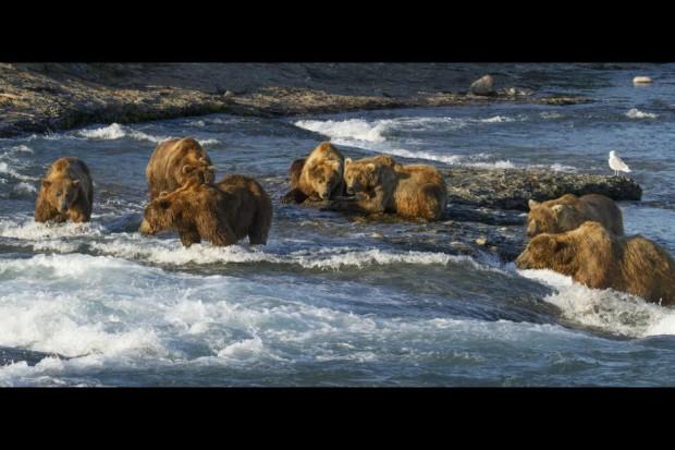 Disneynature - Bears