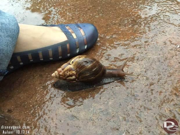 Aulani - A large snail