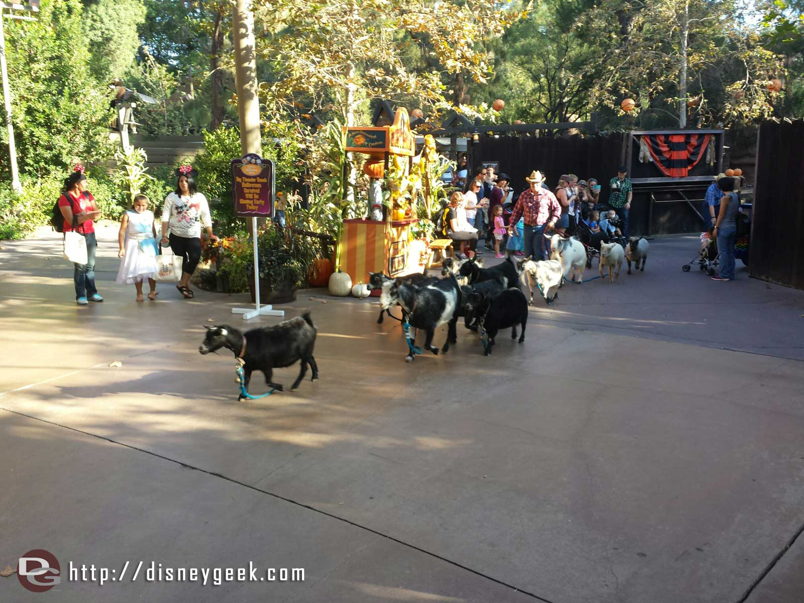 Big Thunder Ranch nightly running of the goats #Disneyland