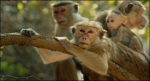 Disneynature - Monkey Kingdom